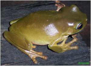 healthy_frog